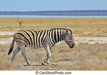 Zebra - Endless horizon of freedom - A Burchell's zebra...