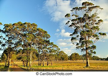 gumtrees on farmland - scattered tall eucalypts in dry open...