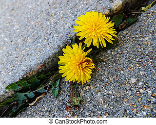 Dandelion flowers growing through crack in asphalt