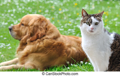 like cat and dog - eyes of a cat in front of a golden...