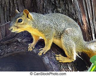Eastern Fox Squirrel sitting on a tree - Eastern Fox...