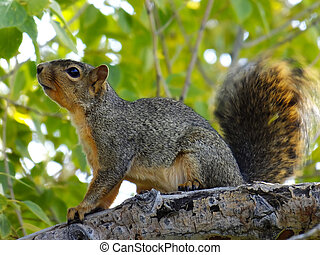Eastern Fox Squirrel sitting on a tree - Eastern Fox...