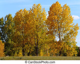 Cottonwood trees with fall color