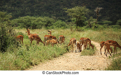 A group of gazelle's