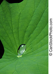 dew drop on lotus leaf