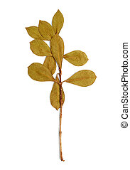 dry branch with leaves on white background