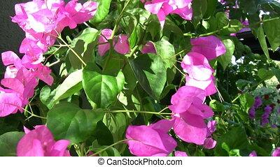 Purple and White Flower Bougainvillea