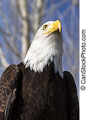 Bald Eagle resting in a tree on a sunny morning