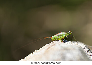 Tender cricket in ovulation - Dotted Tender cricket during...