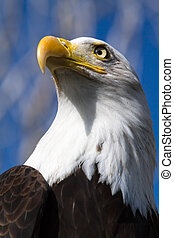 Bald Eagle - Profile view of a Bald Eagle sitting in a tree...
