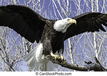 Bald Eagle landing on a tree branch