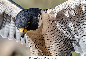 Peregrine Falcon close up with wings spread