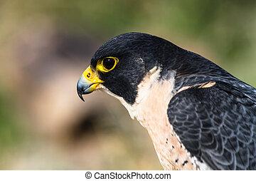 Peregrine Falcon - Profile of a Peregrine Falcon