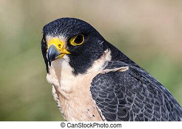 Peregrine Falcon - Close up of a Peregrine Falcon