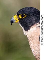 Peregrine Falcon - Profile of head of a Peregrine Falcon