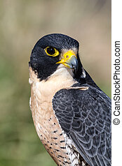 Peregrine Falcon perched on a tree branch in the morning sun