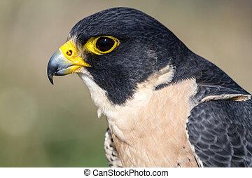 Peregrine Falcon - Close up profile of a Peregrine Falcon...