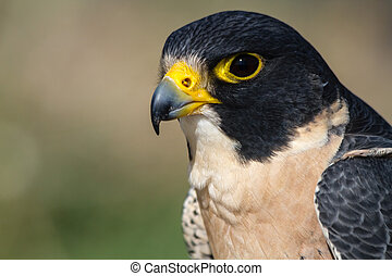 Peregrine Falcon - Profile of a Peregrine Falcon sitting on...