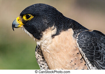 Peregrine Falcon - Proflle of Peregrine Falcon head and...