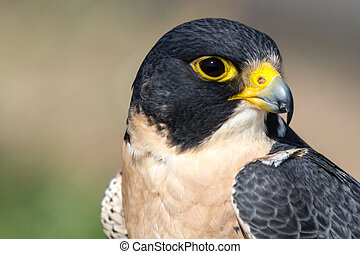 Peregrine Falcon - Close up of eye and beak of Peregrine...