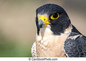 Peregrine Falcon head and shoulder close up