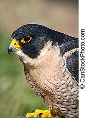 Peregrine Falcon - Side view of a Peregrine Falcon