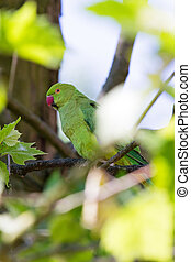 The Rose-ringed Parakeet (Psittacula krameri) in a tree in...