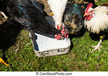 free-range chickens, organic poultry - free-range chickens,...