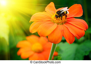 Bumble bee pollinating a flower lit by the sun...