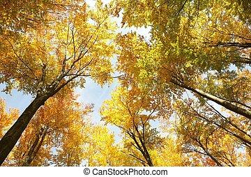 otoño, aliso, árboles
