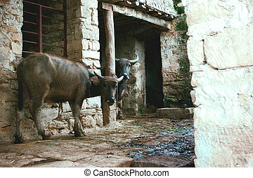 Cow in rural China