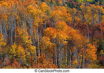 Colorful Aspen trees - Tall colorful Aspen trees in autumn...