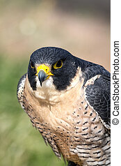 Peregrine Falcon - Front view of Peregrine Falcon sitting in...