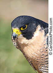 Peregrine Falcon - Profile of a Peregrine Falcon