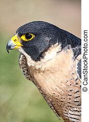 Peregrine Falcon - Profile of a Peregrine Falcon close up