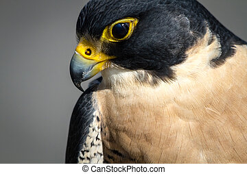 Peregrine Falcon looking down from tree