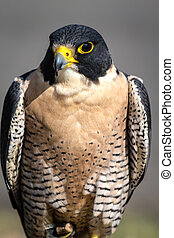 Peregrine Falcon perched in a tree