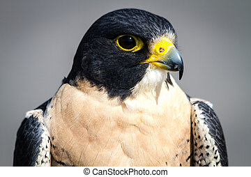 Peregrine Falcon - Close up of the head of a Peregrine...