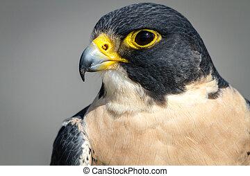 Peregrine Falcon - Profile of a Peregrine Falcon sitting on...