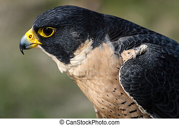 Peregrine Falcon - Profile of a Peregrine Falcon sitting in...