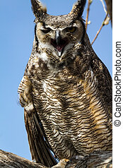 Great Horned Owl - Great horned owl screeching in a tree