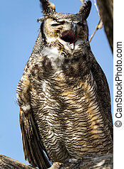 Great Horned Owl - Great horned owl screeching loudly in a...