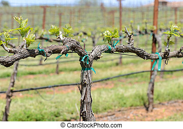 Grapevine in the Spring