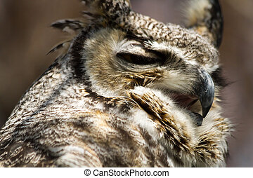 Great Horned Owl - Close up of great horned owl screeching