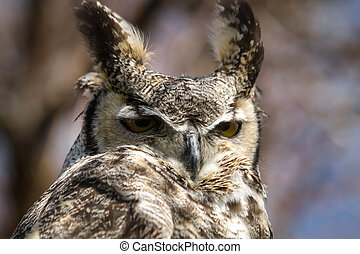 Great Horned Owl - Close up of great horned owl looking down