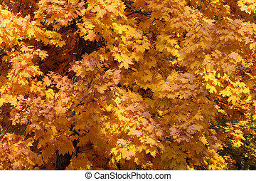 maple tree foliage
