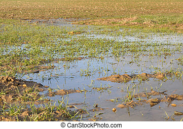 wheat fields flooded - wheat fields covered with puddles