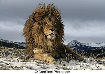 Barbary lion, Panthera leo leo - Barbary lion, Panthera leo...