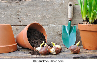 bulbous plants - germination of tulip bulbs in a pot of...