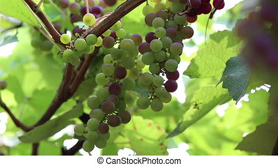 Grapes, 3 clips - Grapes, vineyard, 3 clips